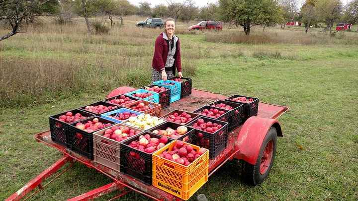 Bee Well picking apples at the orchard today