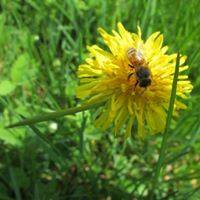 Hello everyone! Its dandelion season! Honeybees, and most kinds of bees, love dandelions! They are the all-you-can-eat-b...