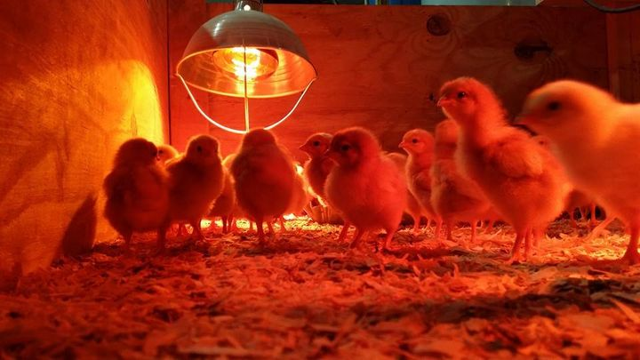 Gearing up for the 2015 season.  Very excited!  Received our batch of 200 Laying hen chicks last week. They will start t...