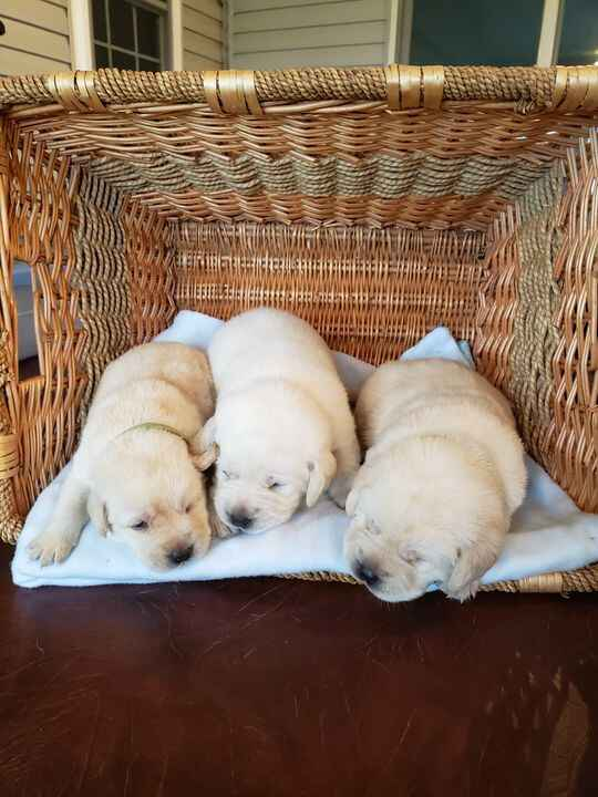 Available white & champagne lab pups